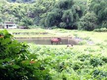Wild Horses, Waipio Valley, Hawaii