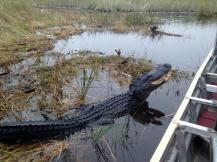 Alligator, The Everglades, Florida