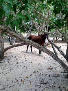 Wild horse near Sun Bay Beach, Vieques Island
